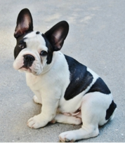 french-bulldog-277255_1920.jpg